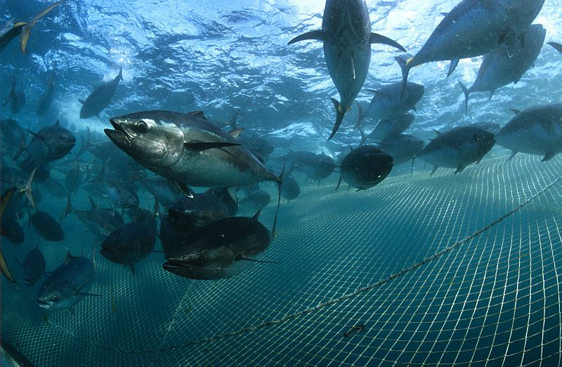 Southern bluefin tuna Thunnus maccoyii In fish farm net. Each pen holds about 60 tonnes of live tuna. The tuna will be caught and killed for the Japanese sushi market when they reach approx. 30kg Port Lincoln, South Australia