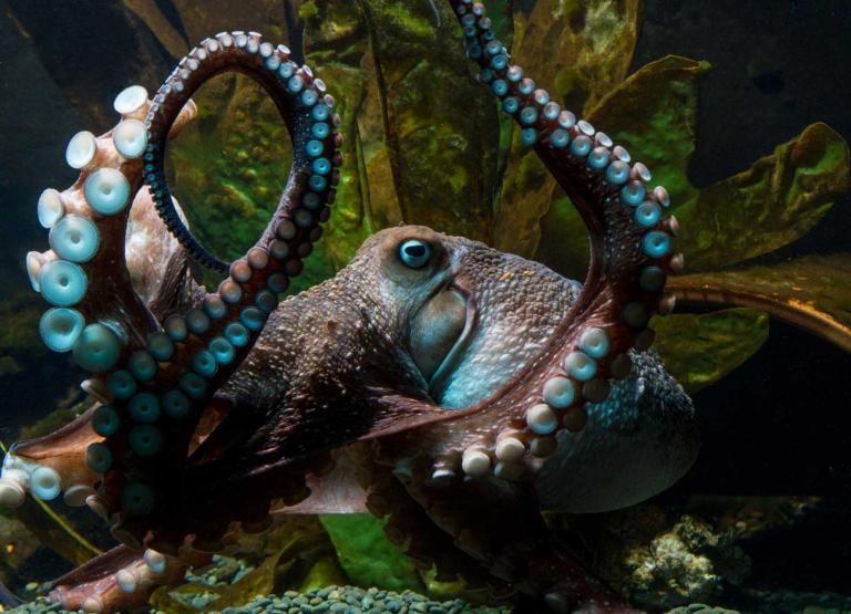 the-octopus