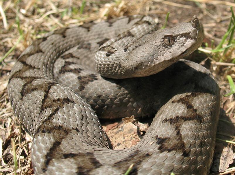 Hrv.zmije1